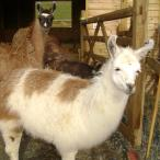gelding llama