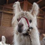 fibre llama