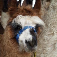 llama halter training