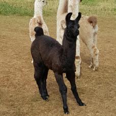 llama for sale
