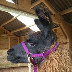 haltering llamas