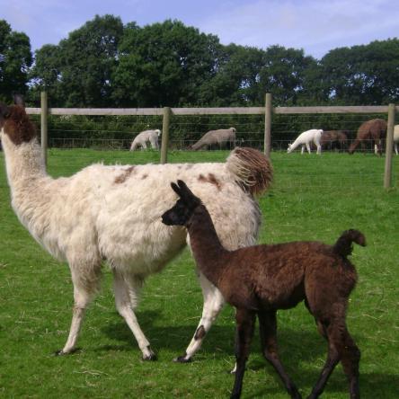 female llamas