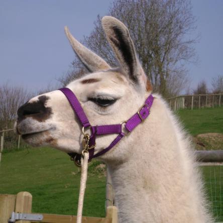 therapy llama