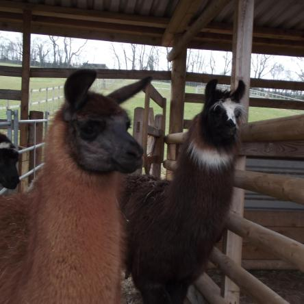 female llamas for sale