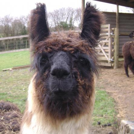 sold llama