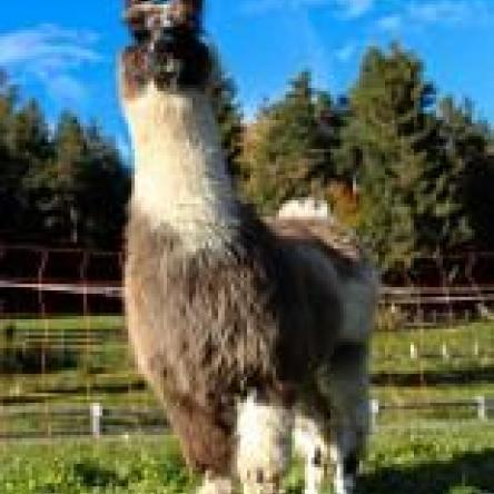 breeeding female llama