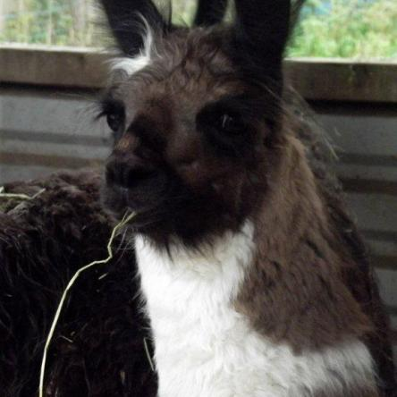 female llama