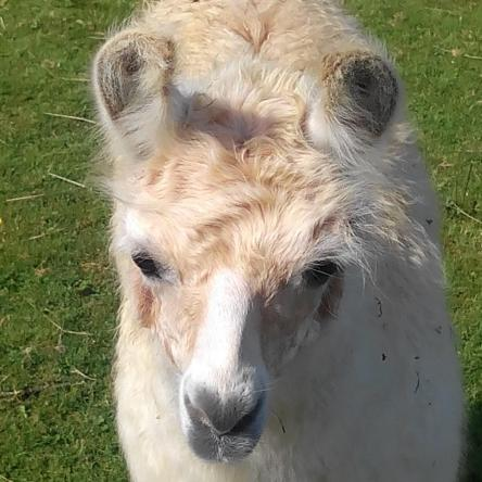 Llamas for sale