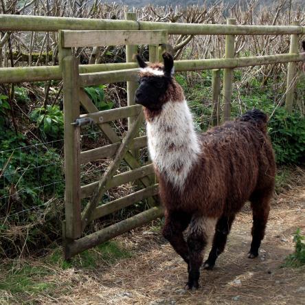 llama training