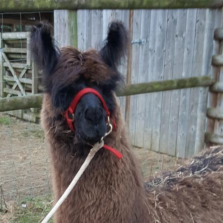 leading llama