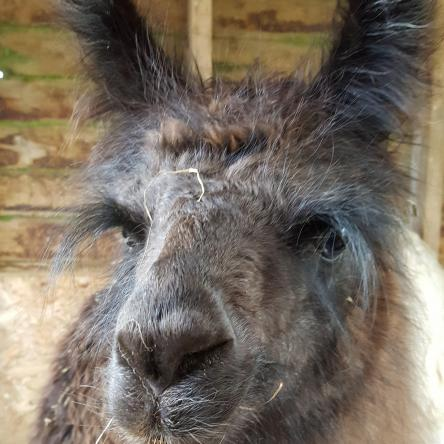 llama woolly