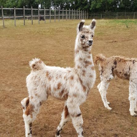 female llama for sale