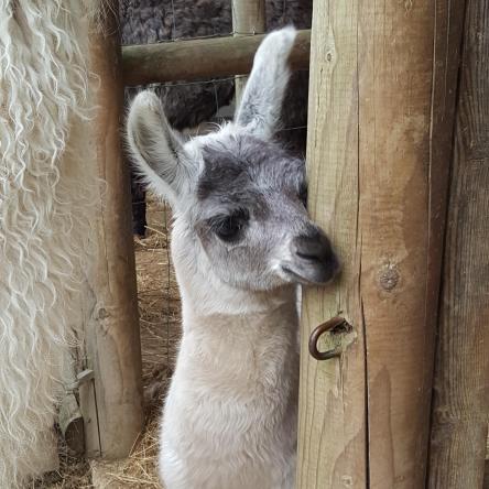 llama cria for sale