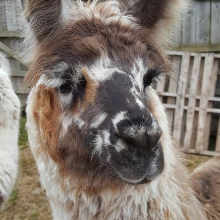 spotty llamas