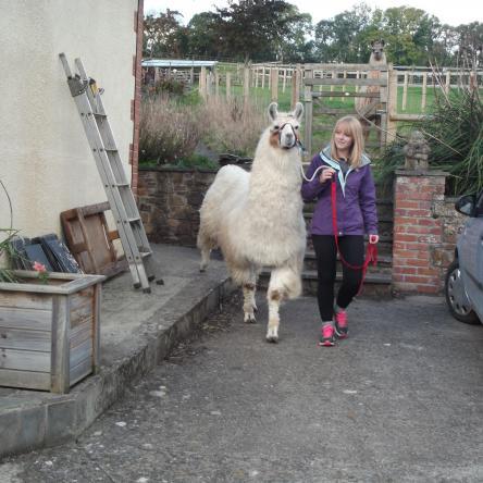 trekking llama for sale