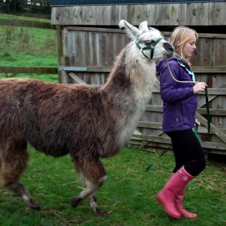 buy llamas