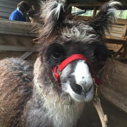 potential stud llama