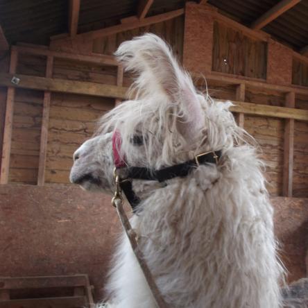 female llamas for sale