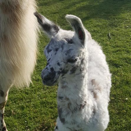 female llama cria