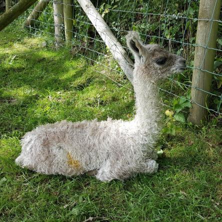new born llama cria