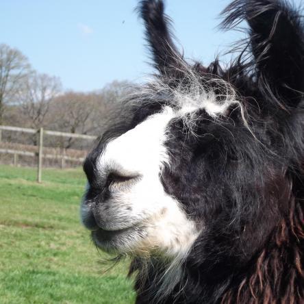 breeding llama