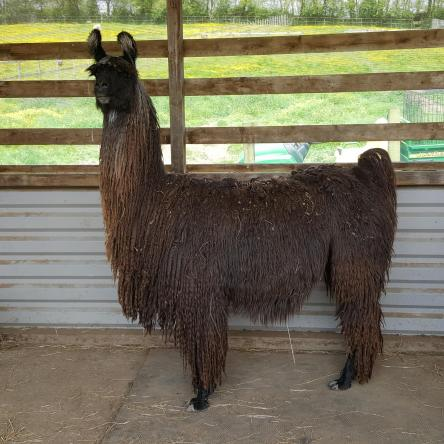 pregnant llama