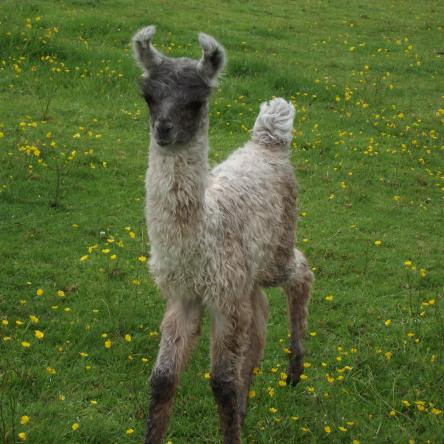 female cria
