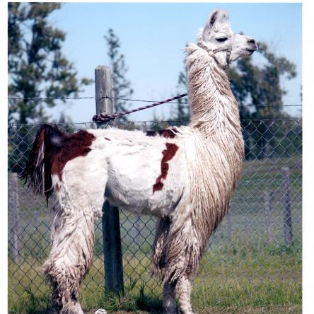 suri llama