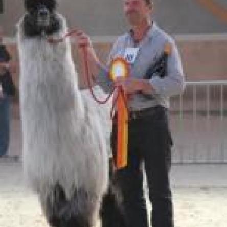 prize winning llama