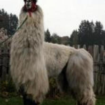 top stud llama
