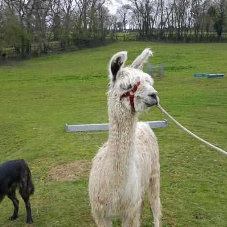 young suri  llama