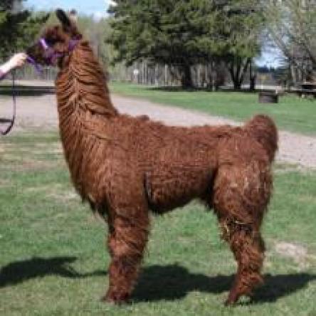 stud llama