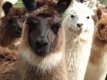 llama types