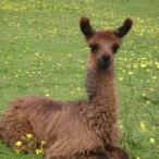 Guard Llama Livestock Guardian