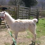 livestock guardian