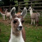 Simply Alpaca Camelidynamics