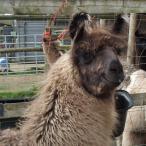gelded llama