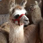 llama weanling