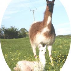 female llama and cria