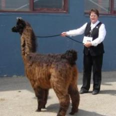 show llama