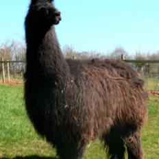 stud male llama
