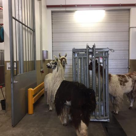 imported llamas