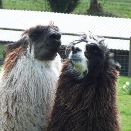 stud male llamas