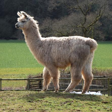 young llama