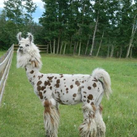 argentine stud llama