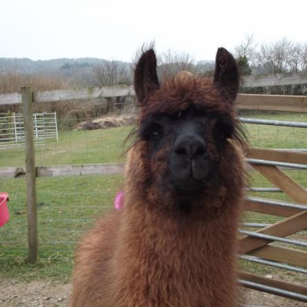 buy llama