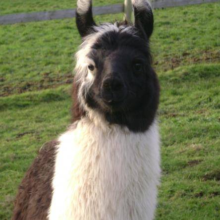 male llama for sale