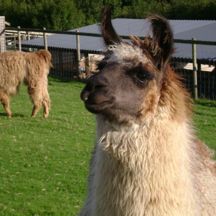 herd sire llama