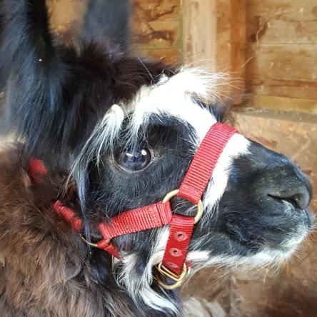 silky llama