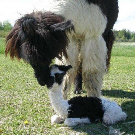 llama and cria